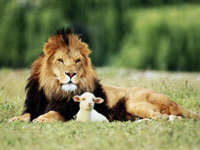 Félins Lion-and-the-lamb