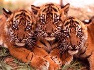 animaux-bebe-tigre