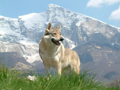 chien-loups