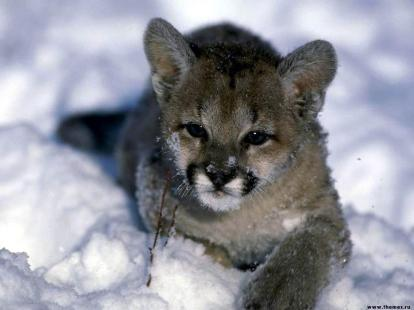 felins-dans-la-neige