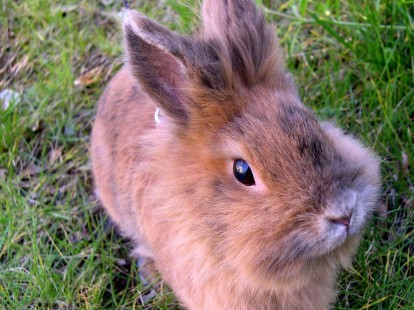 photo-lapin-nain