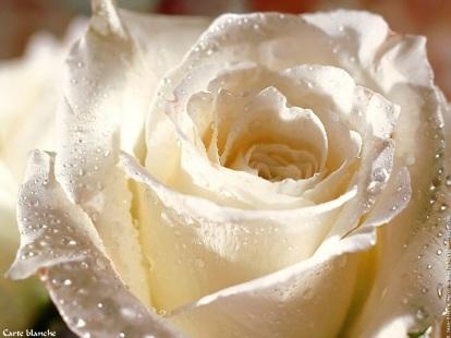 roseblanche
