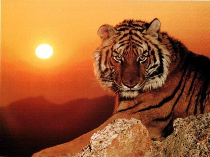 chine-tigre-de-chine-meridionale_1229900255