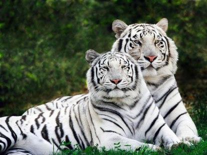 tigre-11_jpg