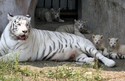 tigre-blanc-de-chine_1220010162