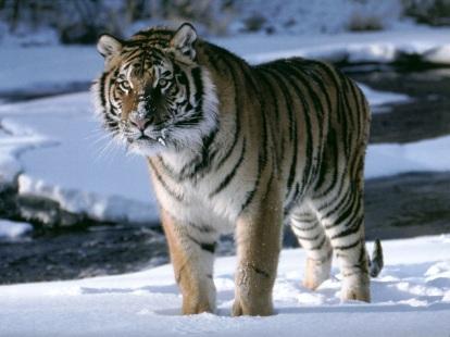 tigre_nieve