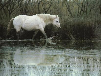 cheval-camargue