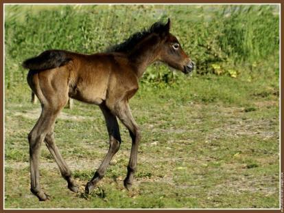 galerie-membre,cheval,poulain001