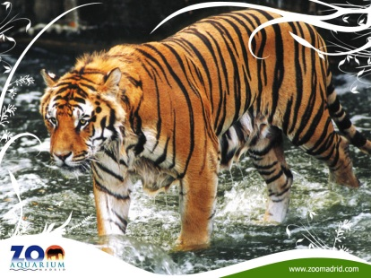 tigre-1024