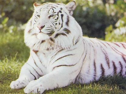 Tigre_blanc