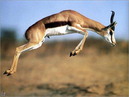 fond-ecran-saut-de-gazelle