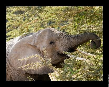 galerie-membre,elephant,photo-elephant-acacia-01