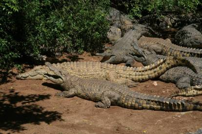 IMG_9883-Crocodiles