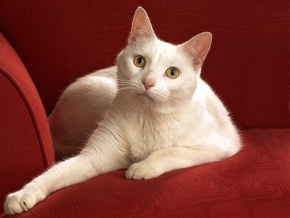 chat-blanc