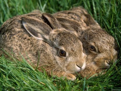 couple-lapin