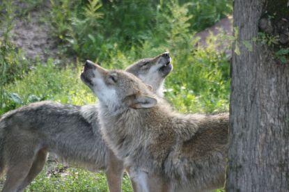 couple-loup-vosges