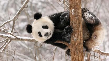 00025486.Panda_