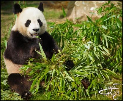 beauval-panda004