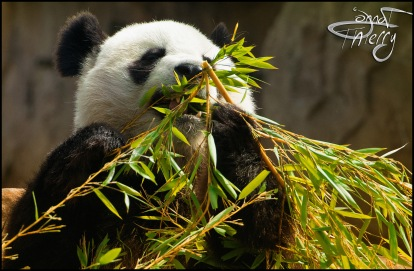 beauval-panda008