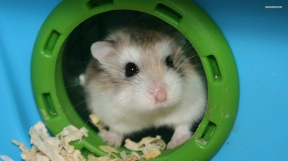 Hamster-HD-Desktop-Wallpaper