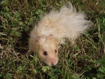 Hamster_doré_angora_beige