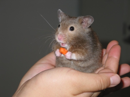 Hamster_in_hand