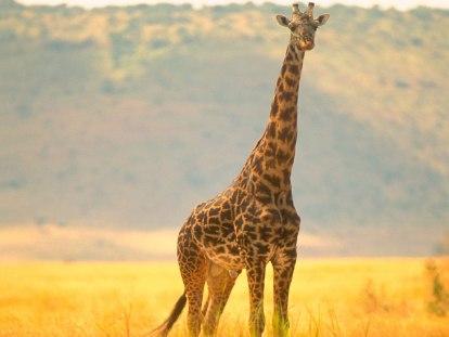 girafe.37164