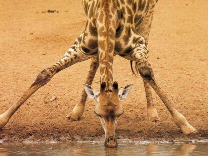 girafe-qui-boit