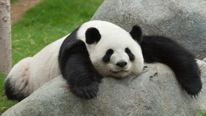 original_Panda