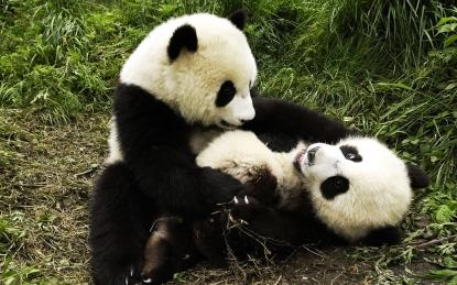 panda_571172