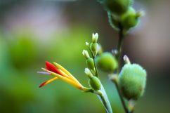 bfantinatti_flower_bud